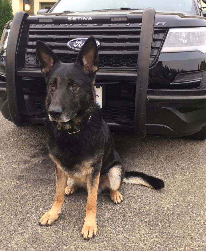 Sheriff K9 apprehends suspect – three times – who tries to steal police car with the doginside