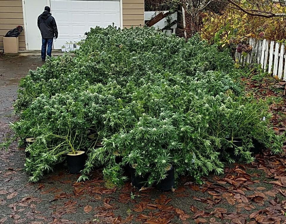 Grays Harbor police raid 60+ houses as part of marijuana ring bust